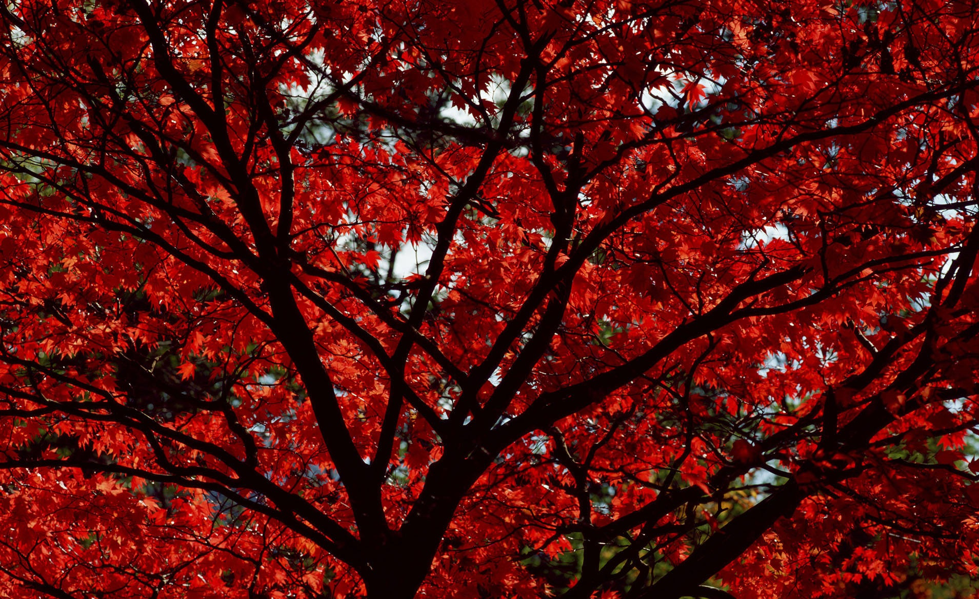 Red-fall-leaves-wallpaper-images-5emok